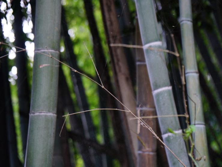 bamboo3_dsc06342