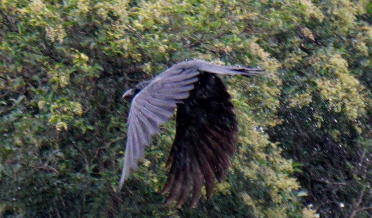 crows4_dsc06732