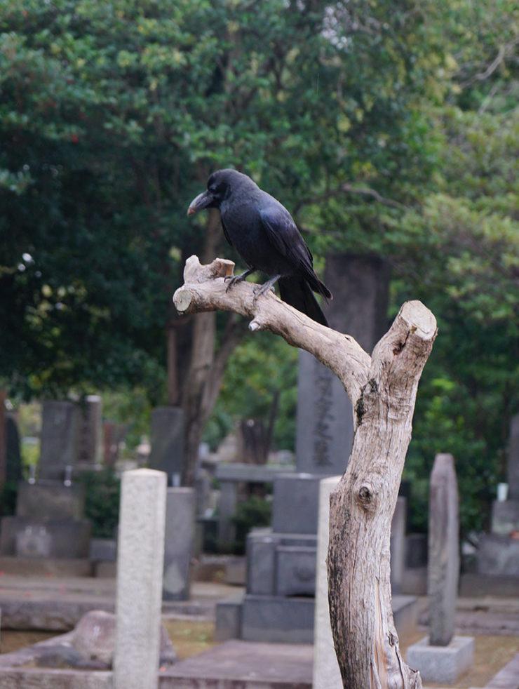 crows5_dsc06697