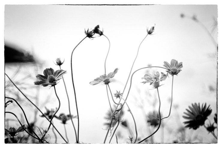 flowersbw_dsc05248