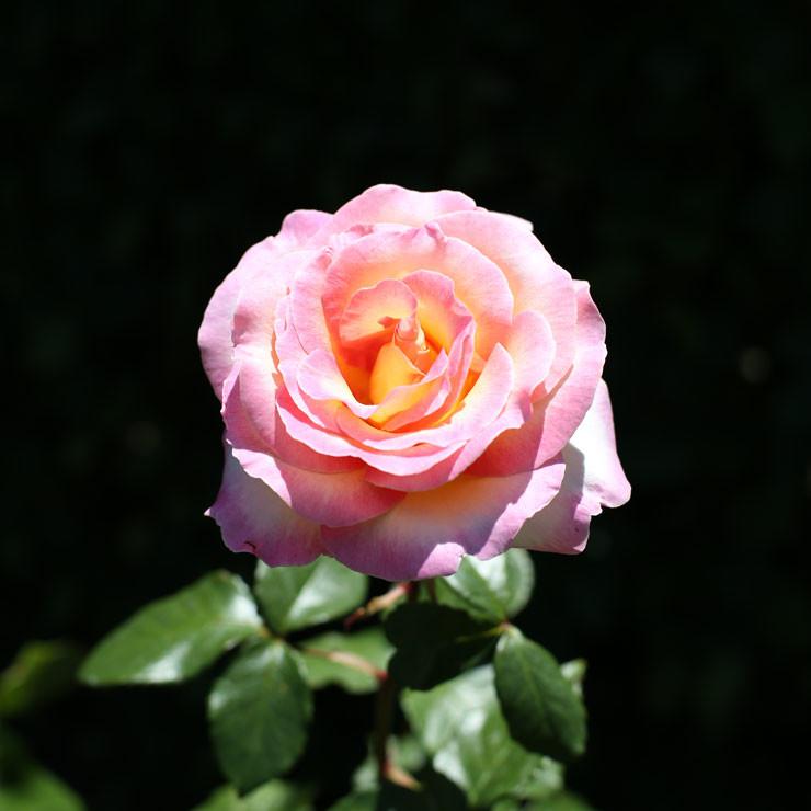 Roses03